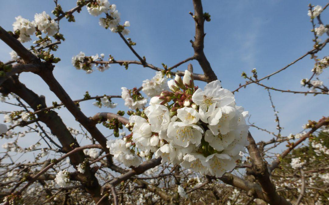Floraison Cerisiers
