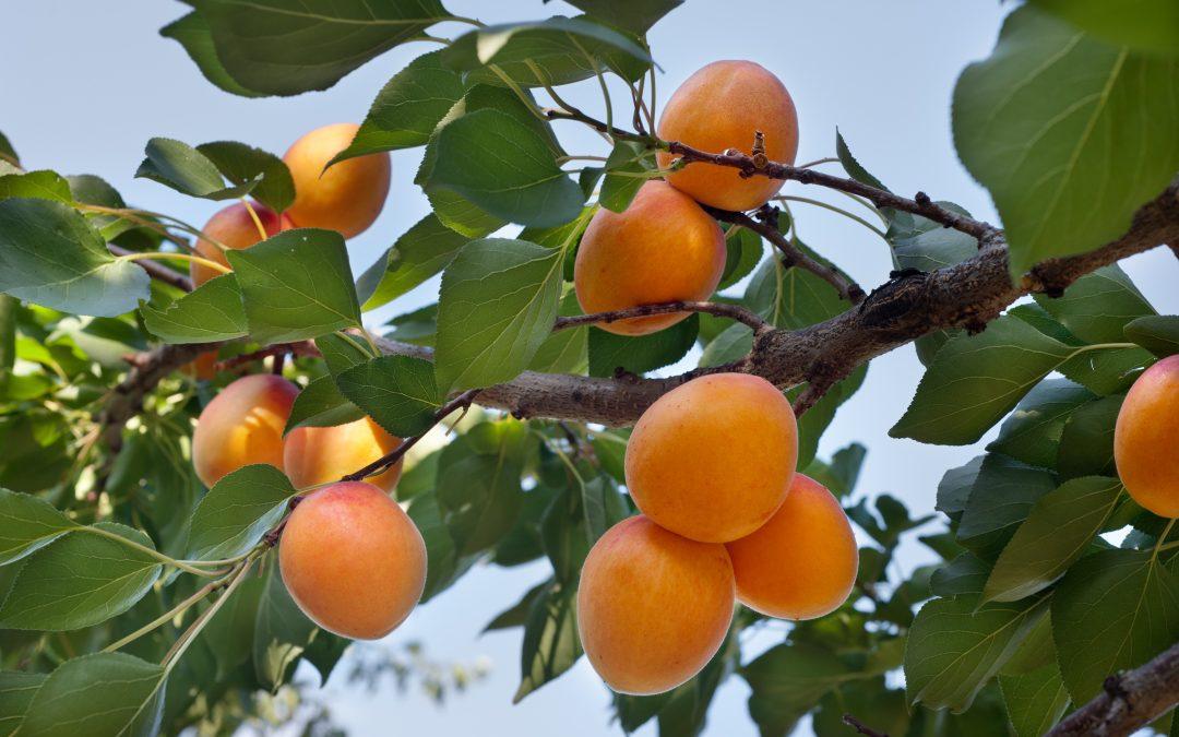 Lancement de campagne Abricot