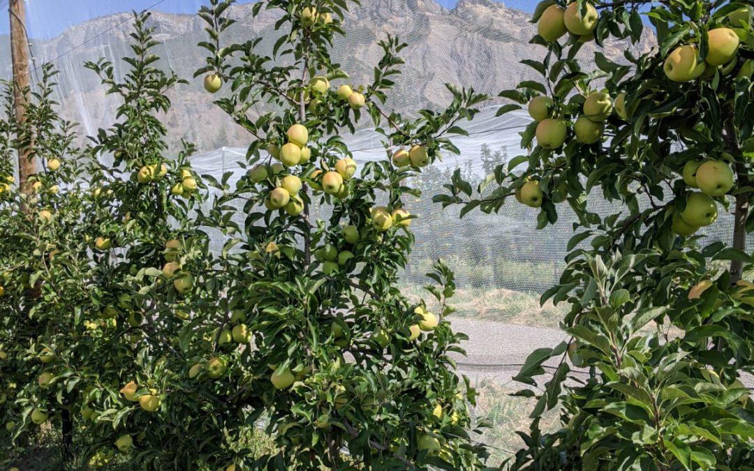 Alpes de Haute-Durance : la récolte des pommes et des poires.