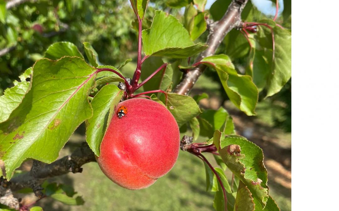 L'abricot 2021 et Fruits & Compagnie